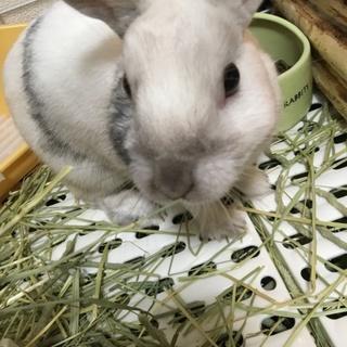 里親募集。ミニウサギです。