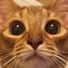 急募‼︎ アビシニアン メス猫 血統書付