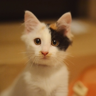 ふわふわ三毛猫美人
