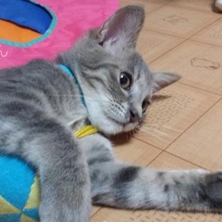 あまあま♡サバトラ子猫イチョウくん里親募集