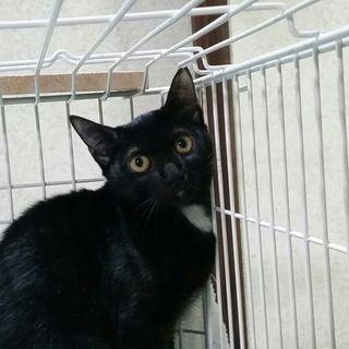 月子5ヶ月齢メス、人懐こい黒猫美人ちゃん