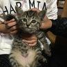 ♪かわいいキジトラ猫、元気な男の子♪