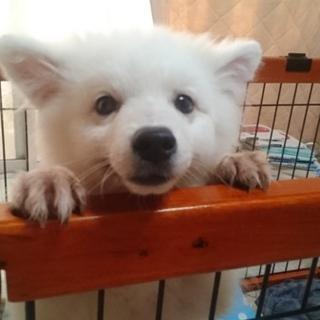 元気いっぱい!!生後5ヶ月スピッツの子犬です。