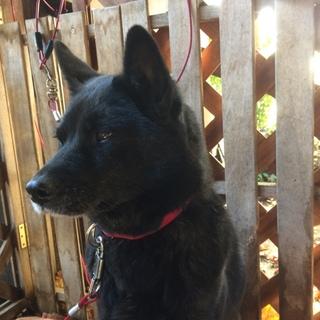 超美人❗️6歳の純血甲斐犬