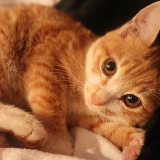 茶トラ甘えんぼの子猫ちゃんです。
