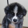 秋田犬虎(黒)オス2ヶ月長毛