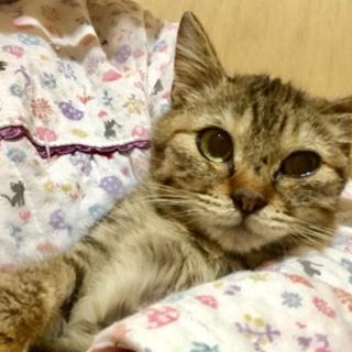 9月生まれ♀キジトラゆとりちゃん・猫エイズ(+)