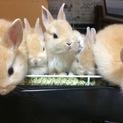 【全員里親様決定】保護されたミニウサギの仔うさぎ)