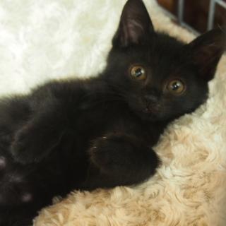 福岡:動物病院発 ★黒猫レディの里親募集★