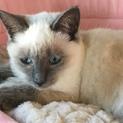 フワフワシャム柄青い目の女の子♪生後3ヶ月