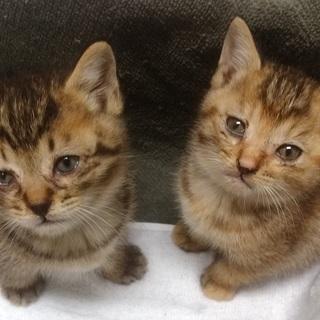 【急募】可愛い子猫2匹(♂と♀)の里親さん募集