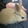 【全員里親様決定】保護されたミニウサギの仔うさぎ) サムネイル5