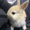 【全員里親様決定】保護されたミニウサギの仔うさぎ) サムネイル7