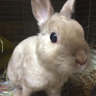 【ウサギ】ネザー♂シナモンくん7才