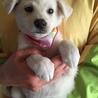垂れ耳ラブ風の可愛い仔犬