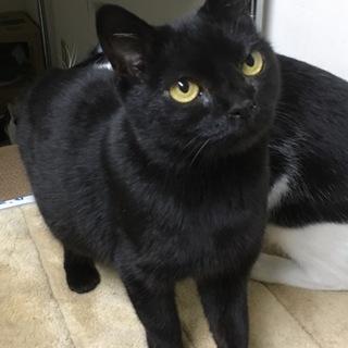 甘えん坊の黒猫モコちゃん避妊済エイズ陽性