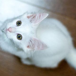 ターキッシュアンゴラみたいな白猫