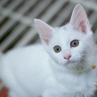 超美形、白・半長毛子猫