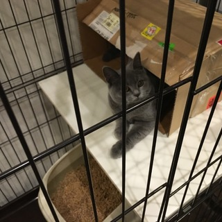 ブリティッシュショートヘアのオス猫。5ヶ月