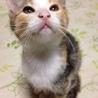 【サビ三毛トラ】可愛くて元気なメス子猫です。
