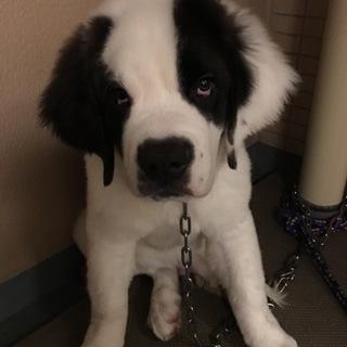 セント・バーナード4か月男の子優しい元気な子犬