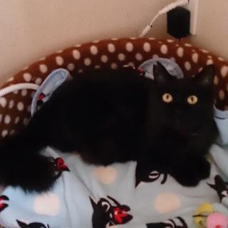 黒猫ペルシャ風のクロちゃん