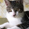 【里親さま決定】捨て猫キジシロの男の子
