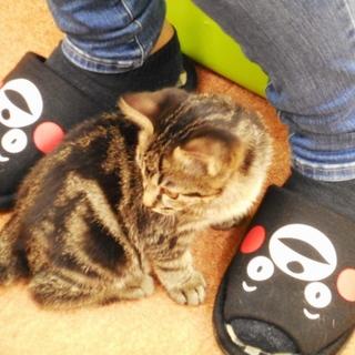 アメショミックス子猫