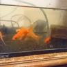 夏祭り金魚