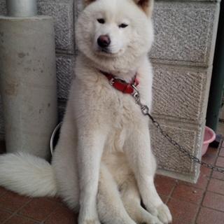 秋田犬[血統書付き] 元気いっぱいララァちゃん