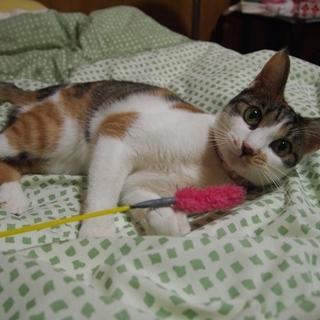 人にベタベタでとても美人の三毛猫さん♪
