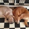 パグ&柴犬 2匹一緒に引き取ってくれる方