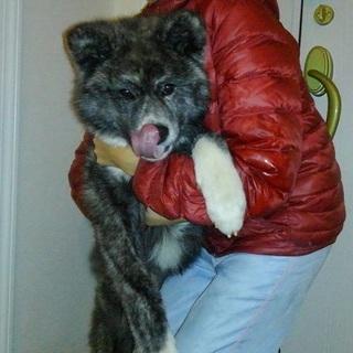 ふわふわモコモコ秋田犬の仔犬です♪