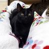 優しい性格で長~い尻尾の美しい黒猫クウリ動画あり サムネイル2