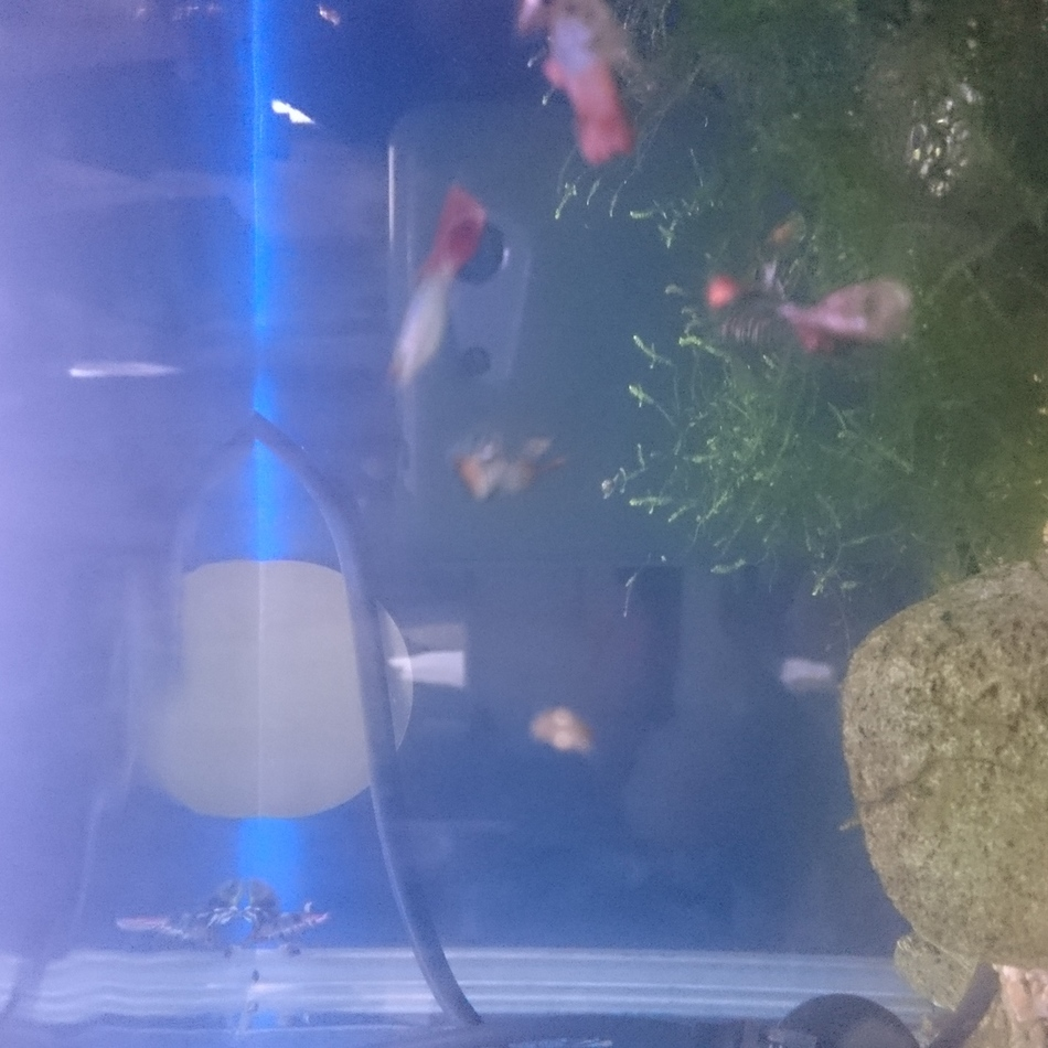 熱帯魚 グッピーのカバー写真