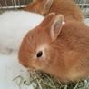 子ウサギ2羽の里親募集中です。
