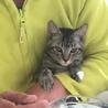 アメショっぽい柄のキジ猫くん