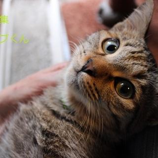 あまあま♡キジトラ子猫オリーブくん里親募集