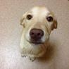 ラブラドールレトリーバーの仔犬です