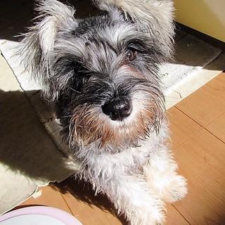 4か月のミニチュアシュナウザー子犬 女の子 パイン