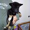生後2ヶ月未満の保健所救出犬です。