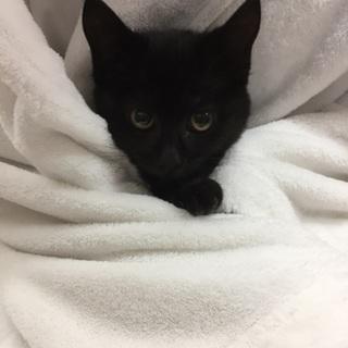 3ヶ月、黒白3兄妹、黒毛メス猫(こるなチャン)♪
