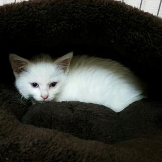 ふわふわ白猫ちゃん女の子 2ヶ月半