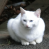 尻尾の長い真っ白美猫ブルーアイです。