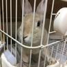 【ミニウサギ】スウちゃん(仮)多頭崩壊から保護 サムネイル3