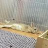 【ミニウサギ】スウちゃん(仮)多頭崩壊から保護 サムネイル4