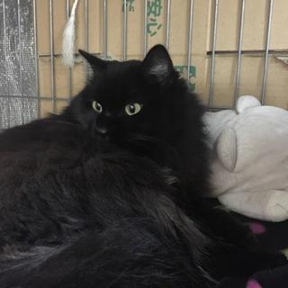 長毛黒猫 大人しい子です