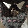 フクロモモンガ 雌♀里親募集します。