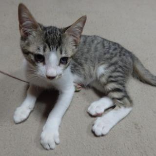キジシロ♀仔猫の里親さん募集してます