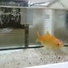 金魚の無精卵